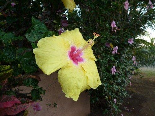 Hibiscus-jaune hibiscus