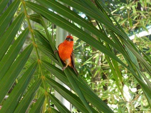 Oiseau-rouge2